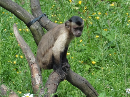 Random picture of a capuchin monkey that I took, just to break up the wall of text a bit