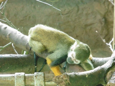 Sleepy squirrel monkey